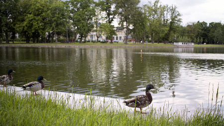 photo of green summer park with beautiful lake and ducks Stock Photo