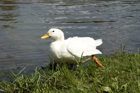 funny white duck walking on a lake