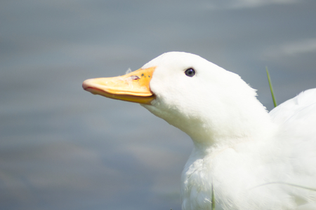 funny white duck on a lake Stock Photo