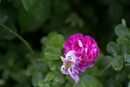 Beautiful Europe peony rose bright after rain