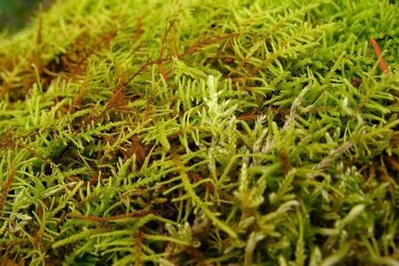 Green lush moss close up growing on the ground in the forest, small vegetation. Bright furry green. Reklamní fotografie