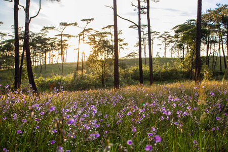 Soft Focus sweet purple flowers and pine tree forest with sunset light on Phu Soi Dao National Park, Thailand