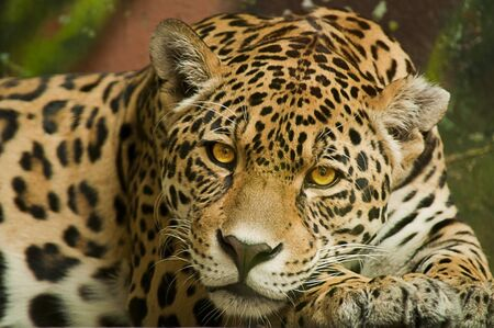 Taunting the male jaguar