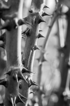 a trunk of rose with thorns in black and white