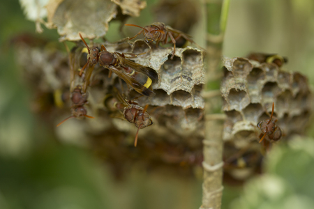 Group of wasps working on their nest.