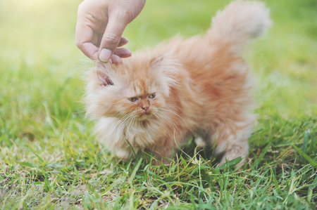 Hand touching on red kitten persian cat in the garden