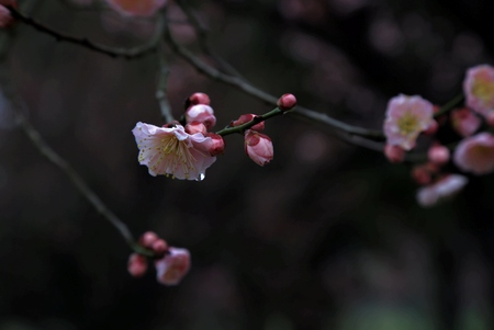 blomming: Plum blossom