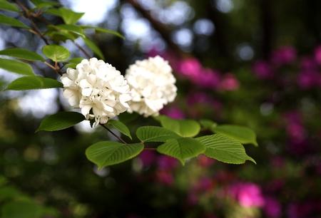 at white: White hydrangea