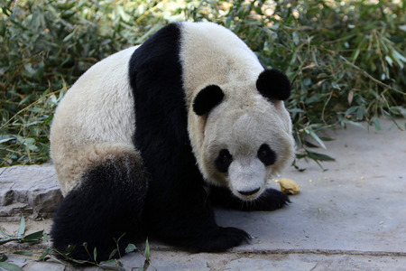 giant: Giant Panda in Beijing Zoo.