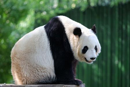 cute panda: Cute panda Stock Photo