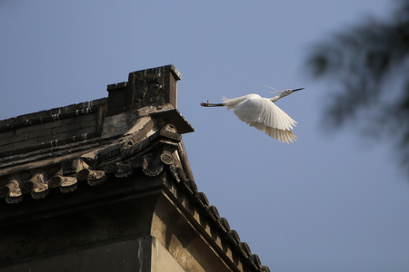 egrets: Egrets and old buildings Stock Photo