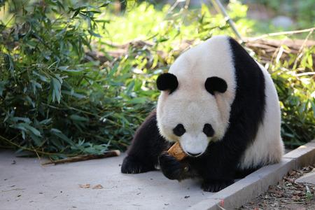 Panda in the dinner
