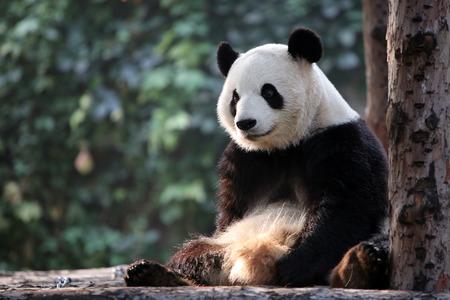 Panda in the rest