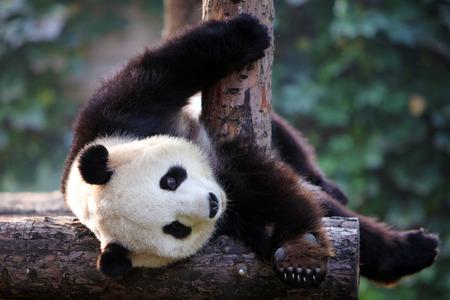 panda lie down and play