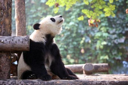 panda Enjoy the autumn