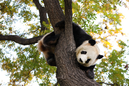 Panda climb the tree