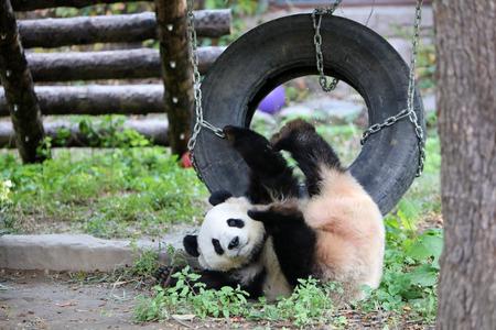 panda falling down from swing