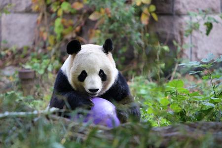 Panda playing ball