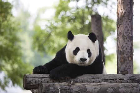 mammalia: panda