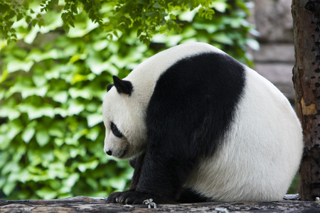 View of a panda in a zoo