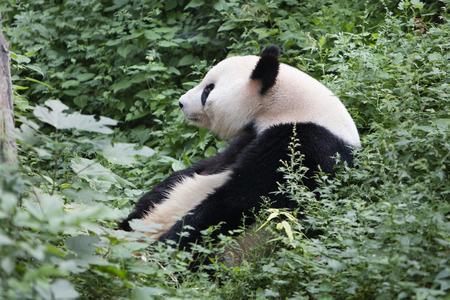 panda close up view
