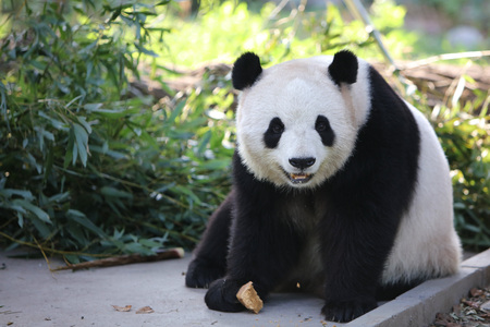 A panda in Beijing Zoo