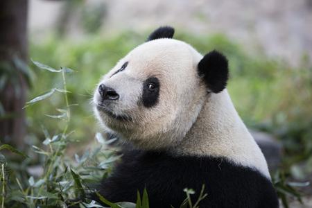 A panda in Beijing Zoo