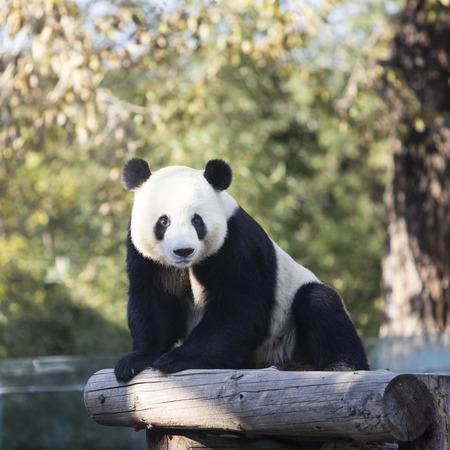 Een gigantische panda in de dierentuin