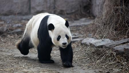 A giant panda in the zoo