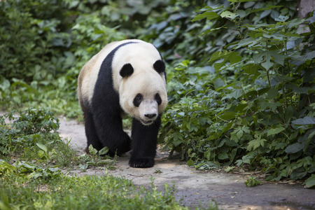 A giant panda is at the zoo