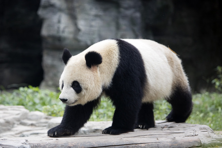 a giant panda in the Beijing Zoo