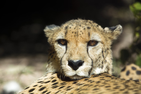 a cheetah in the zoo