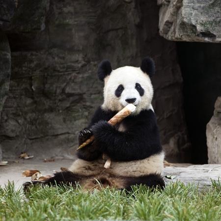 a panda in the zoo Stockfoto