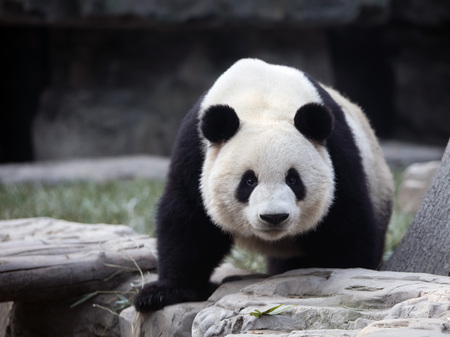 a giant panda in the zoo