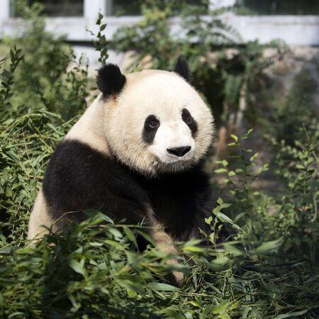 panda gigante en el zoológico Foto de archivo