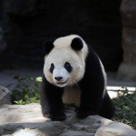 Un panda gigante en el zoológico.