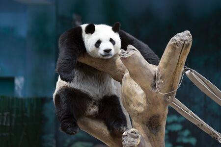 un panda gigante nello zoo