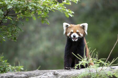 Lesser panda in zoo Stockfoto