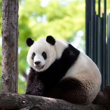 a giant panda in the zoo Foto de archivo