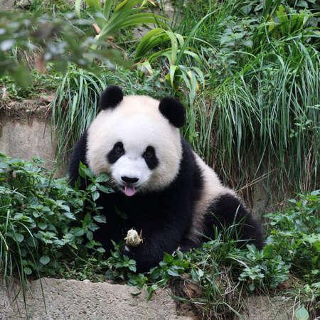 Giant panda in the zoo Foto de archivo