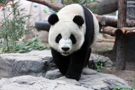 Giant panda in the zoo