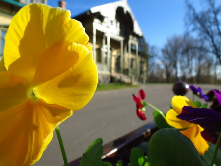 oldfashioned: Many colorfull pansies against old-fashioned residential cottage
