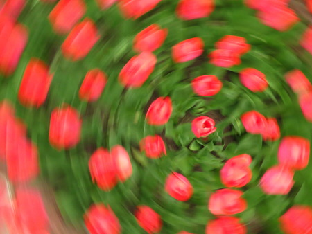 whirling: whirling of colorful beautiful spring red tulips