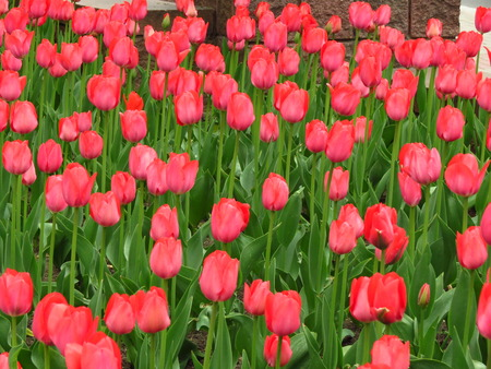 beautyful: spring background with colorful beautyful red tulips