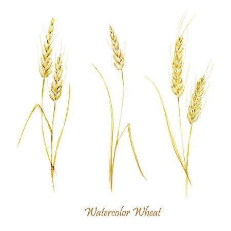 fon: Beautiful watercolor vector golden wheat set on white fon Illustration