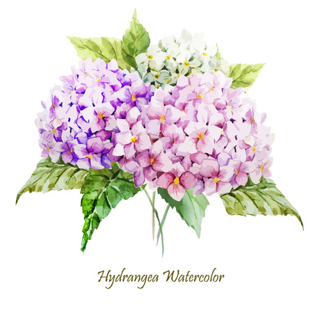 flowers on white: Beautiful watercolor vector hydrangea bouquet different colors Illustration
