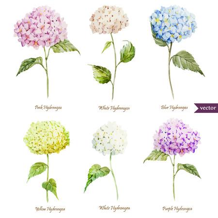 jardines con flores: Hermosa acuarela vector hortensias establece diferentes colores