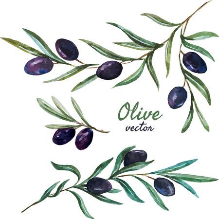 rama de olivo: Modelo hermoso del vector con las aceitunas sabrosas con hojas Vectores