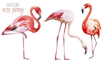 flamenco ave: Hermosa acuarela del vector fijado con bonitas flamencos