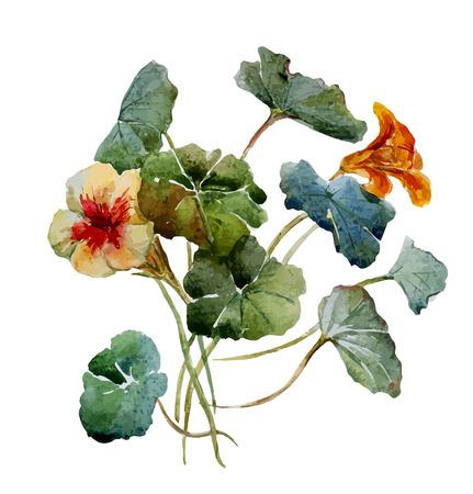 nasturtium: Beautiful vector illustration with nice watercolor nasturtium